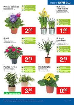 Ofertas de Flores  en el folleto de Lidl en A Coruña