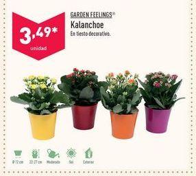 Oferta de Kalanchoe Garden Feelings por 3,49€