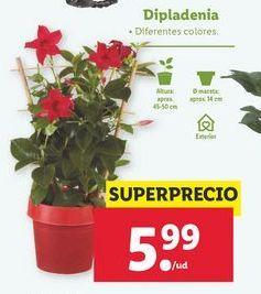 Oferta de Dipladenia por 5,99€
