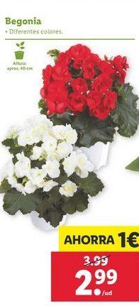 Oferta de Begonias por 2,99€