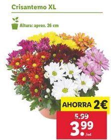 Oferta de Crisantemos XL por 3,99€