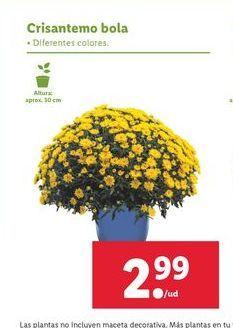 Oferta de Crisantemo bola por 2,99€