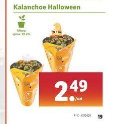 Oferta de Kalanchoe Halloween por 2,49€