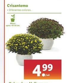 Oferta de Crisantemo por 4,99€