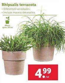 Oferta de Rhipsalis terracota por 4,99€