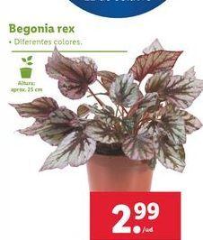 Oferta de Begonia rex por 2,99€