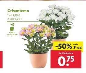 Oferta de Crisantemos por 1,49€