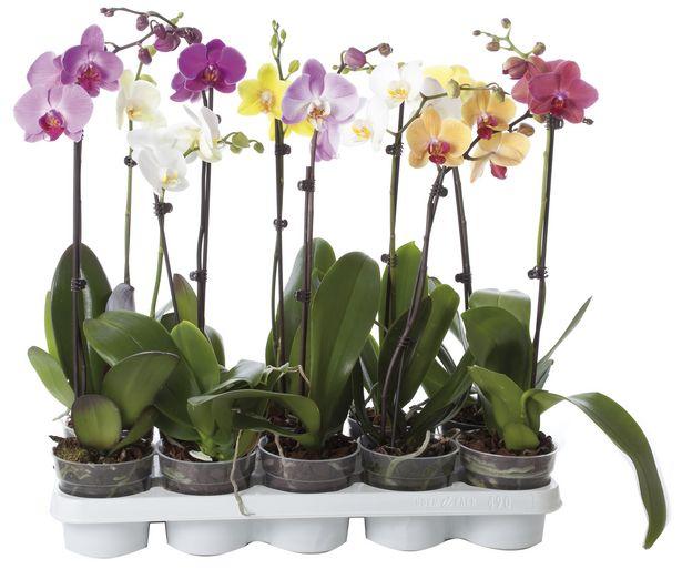 Oferta de Orquídea de 1 vara de 45 -50 centímetros y maceta transparente de 12 centímetros VIVEROS. por 6,99€