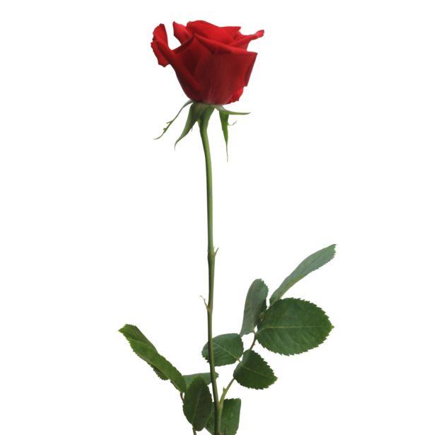 Oferta de Rosa individual -ideal para Sant Jordi por 10€