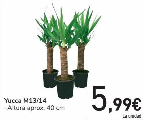 Oferta de Yucca M13/14  por 5,99€